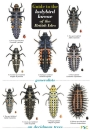 Guide to the Ladybird Larvae of the British Isles