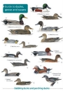 Guide to Ducks, Geese and Swans of Britain and Ireland