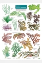 Guide to Common Seaweeds