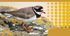 Ringed Plover by Julian Bhalerao